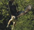 Hawksdrift Falconry Experience Days